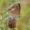 J01_2359 Long-tailed Blue